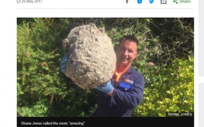 GIANT Wasp Nest In Newbury – Famous For A Day