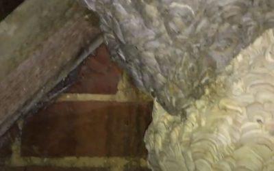 Double Wasps Nest in Basingstoke
