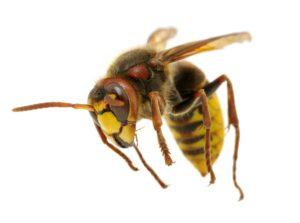 hornet removal
