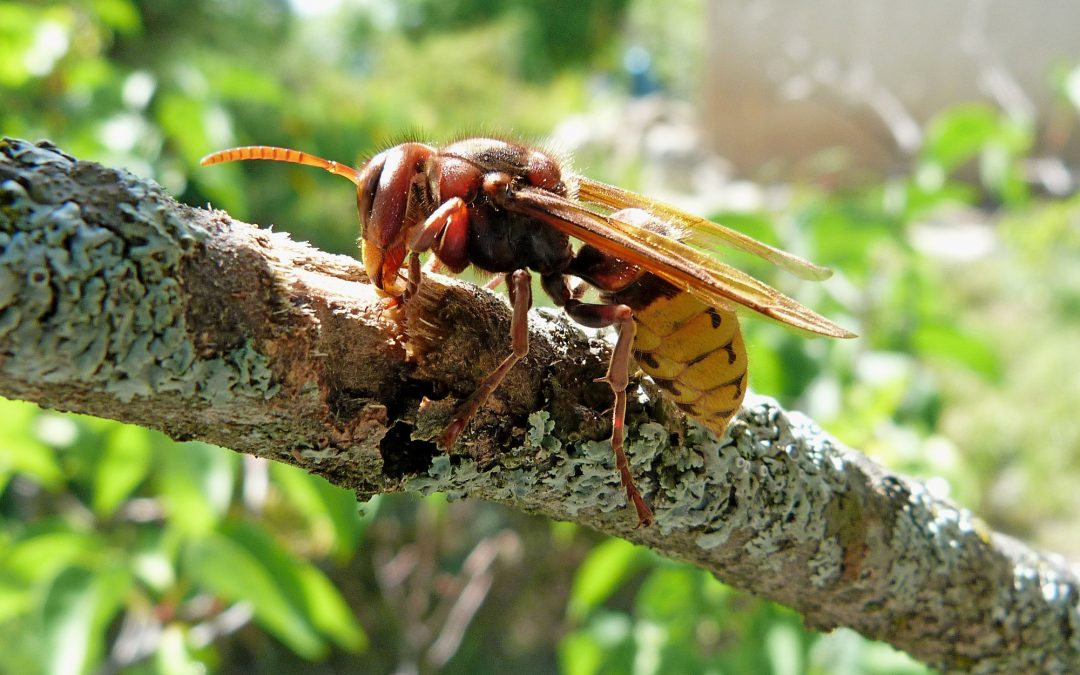 Pest Control Newbury – Asian Hornet
